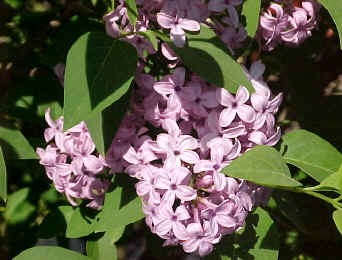 SYRINGA x persica - Persian LilacModerate growth to 10 feet. Slightly smaller, more compact and less fragrant flowers than the common Lilacs, but still worthwhile.