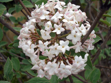 VIBURNUM x juddii - Judd Fragrant ViburnumFragrant white flowers in spring with dark green foliage. Deer resistant. Plant at least one of these for the fantastic fragrance!  One of Bob's favorites!