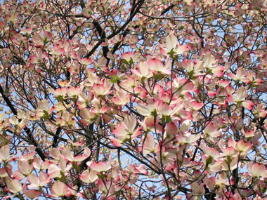 Wow! Awesome flowering dogwood in all its Spring glory