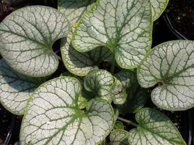 BRUNNERA macrophylla 'Jack Frost'Jack Frost - Wide heart-shaped frosty-silver leaves with light green veins. Blue flowers with yellow centers. Partial shade. Grows up to 15-inches tall.