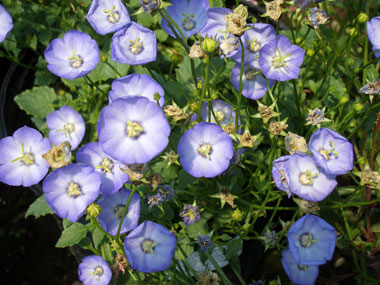 Photos of flowering perennials and garden vines that begin with the campanula carpatica samanthablue clips samanthagrows in low spreading mound to 10 inch mightylinksfo
