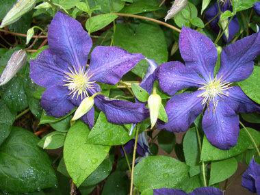 Photos of flowering perennials and garden vines that begin with the clematis x jackmaniijackman clematisdeciduous vine with large flowers in various colors during late spring to early mightylinksfo