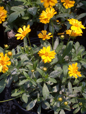 Photos of flowering perennials and garden vines that begin with the coreopsis jethro tulljethro tull coreopsisgolden yellow blooms with growth to 15 mightylinksfo