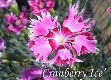 DIANTHUS 'Cranberry Ice'Pinks - Pink and rose colored flowers with a cranberry red eye and a pink edge. Fragrant blossoms measure 1-1/2 inches across.