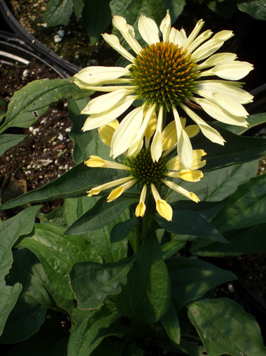 ECHINACEA 'Big Sky Sunrise'Sunrise Coneflower - Lemon-yellow flowers with drooping petals July to September. Full sun. Grows to 30-inches tall.