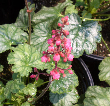 HEUCHERA 'Paris'Paris Coral Bells - White-veiled green leaves and deep rose colored flowers. Repeat bloomer up to frost. Grows to 12-inches in partial shade.
