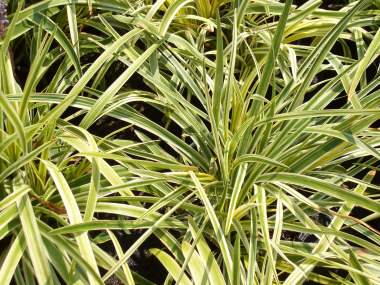 LIRIOPE muscari 'Variegata'Lily Turf - Variegated herbaceous perennial grown in full sun to partial shade as a ground cover or border in Zones 5 - 10. Grows 18