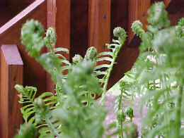 MATEUCCIA struthopterisOstrich Fern - Tall (3 to 4 ft) variety of fern that spreads and does best in evenly moist shade.