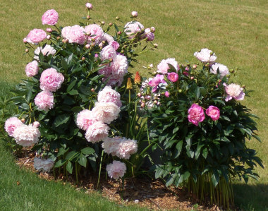PAEONIAPeony - Lovely large flowers with color ranges from white to pink to red. Bloom in late Spring. Deer resistant. TIP: install wire supports (before they emerge) to keep them upright.