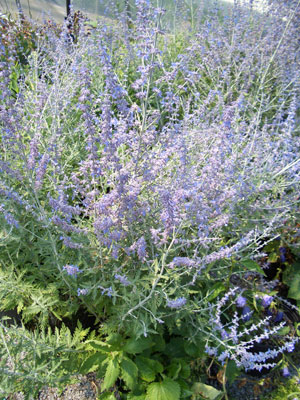 PEROVSKIA 'Little Spires'Little Spires - Lavender flower spikes contrast nicely with silver gray foliage. Full sun. Tolerates dry conditions. Grows to 24-inches tall.