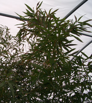 PHYLLOSTACHYS aureaGolden Bamboo - Rapid upright growth to 15 to 30 ft tall, depending on the climate. Common bamboo that is often used for hedges. Some experts recommend against planting bamboo, so beware!