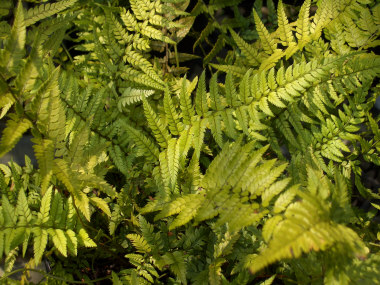 POLYSTICHUM acrostichoidesChristmas Fern or Korean Rock Fern - Semi-evergreen fern. Grow in full to partial shade. Height to 24