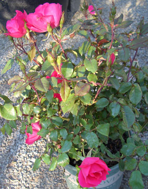 ROSE (Rosa 'Meivahyn')Knock Out® Shrub Rose - Shrub rose that flowers all season long. Easy to maintain, great disease resistance and drought tolerant. Growth to 3 ft. high x 3 ft wide. Sun to partial shade. 2000 AARS Rose Winner.