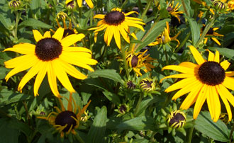 RUDBECKIA fulgida sullivantiiBlack-eyed Susan 'Goldsturm'Abundant gold daisy flowers from mid-summer through first frost. Deer resistant but rabbits will browse younger plants. One plant goes a long way! Drought resistant. 1999 Perennial Plant of the Year. -