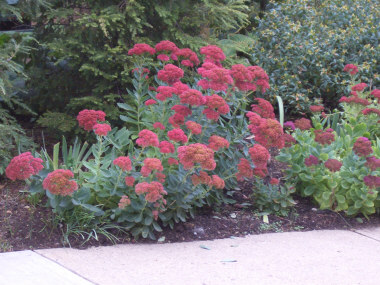 SEDUMStonecropThe most commonly available variety is 'Autumn Joy.' Flowers late summer into fall. Upright forms of Sedum have been reclassed to the genus HYLOTELEPHIUM -