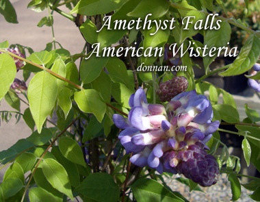 WISTERIA frutescens 'Amethyst Falls'Amethyst Falls American Wisteria - Slower growth than traditional Wisteria makes it ideal for small spaces. Mildly fragrant purple blossoms. Full sun to partial sun, blooms most in late spring with growth to 10 feet.