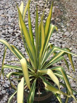 YUCCA filifera 'Golden Sword'Golden Sword Yucca - Green leaf margins with wide gold centers make this plant a DLS favorite. Bright color and coarse texture add to its interest. Best in full sun.