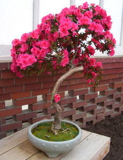 Azalea bonsai in full flower -