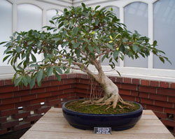 Ficus microcarpaGreen Island Fig bonsai -