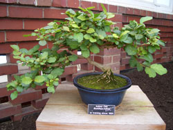 Buddleja indicaIndoor Oak bonsai in training since 1994 -