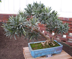Podocarpus macrophyllusBuddhist Pine bonsai in training since 1993 -