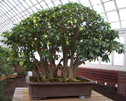 Ficus benjaminaWeeping Fig bonsai in training since 1976Artist: John Naka -