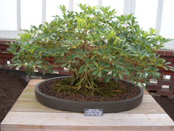 Schefflera arboricolaUmbrella tree bonsai in training since 1990Artist: Kevin Haughey -