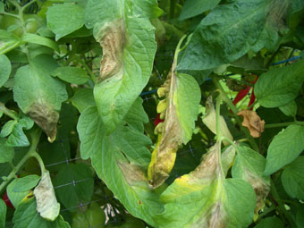 tomatoes-late-blight.jpg