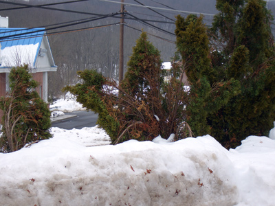 arborvitae-snow-damage.jpg