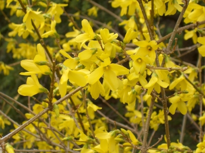 Bright yellow Forsythia blossoms