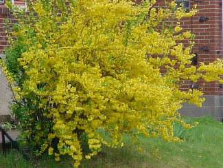 forsythia-blooming.jpg
