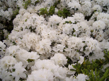 azalea-delaware-valley-white.jpg