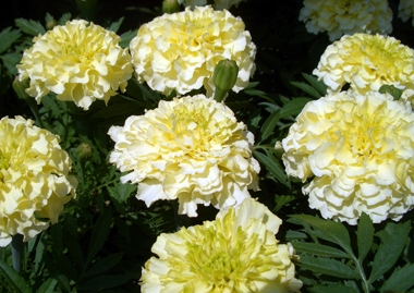 "Hybridizers have also bred ""white"" marigolds, closer to a cream or pale yellow. They fit well into planting schemes that feature a cool color palette."