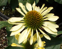 coneflower-yellow.jpg