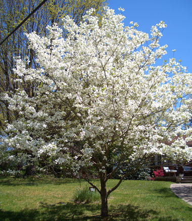 CORNUS floridaEastern Flowering Dogwood - White or pink spring flowers, appearing earlier than Kousa dogwood. Slow to moderate growth to 35 ft tall. Note: Some dogwoods labeled