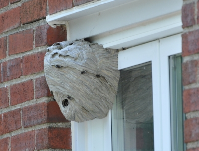 "The source of my attacker! Came home from vacation to find this huge ""paper wasp"" nest in a window corner, or should I say it found me?"