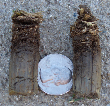 Soil cores from aeration with thatch layer at top.