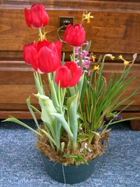 potted-tulips.jpg