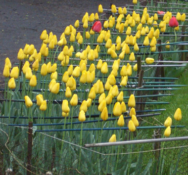 This gardener went to great lengths to protect these tulips from becoming deer food!