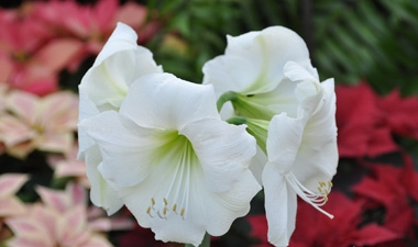 AMARYLLIS - Large bulbs grown indoors during the winter months for their huge, colorful blossoms. The bulbs bloom 7 to 10 weeks after planting, so stagger bulb plantings every couple weeks to prolong the show.
