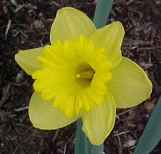 DAFFODIL - When you think of spring, you think of the yellow 'King Alfred' daffodil. Hardy and deer resistant. Divide the bulbs every few years.