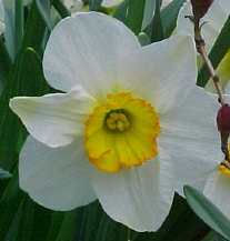 DAFFODILS - This second variety of daffodil has multiple colors: white petals with a yellow cup rimmed in orange.