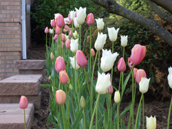TULIPS - Multi-colors can add interest to a tulip planting. Protect from deer!