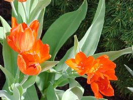 FIRESPRAY TULIPS - Smaller, more compact type of tulip with bright red foliage. Risk of deer browsing!