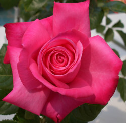 Dark Pink Rose - Dark pink roses are given to express thanks.