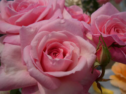 Light Pink Rose - Light pink roses are given to express admiration, grace, and joy.