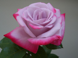 Lavender Rose - Lavender roses are given to express enchantment and 'Love at first sight'.