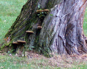 Conks on this black locust trunk warn that there is decay inside the trunk, making the tree more susceptible to high winds.