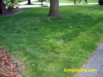 AFTER  One month later, the tree's root zone looks like a lawn again. Proper follow-up care (as outlined above) will be necessary to keep this lawn looking good.
