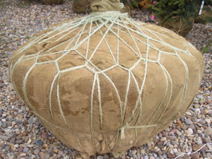 """Rope """"drum"""" lacing used around the burlap wrap of the soil root ball on a large tree."""